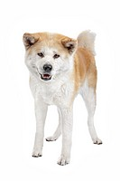 Akita Inu standing in front of a white background