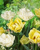 Tulipa Avant Garde, North Cap