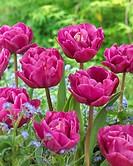 Tulipa Backpacker