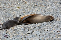 South Georgia. Antarctic fur seal (Arctocephalus gazella) nursing.
