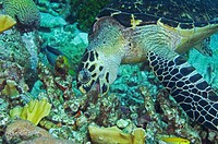 Hawksbill sea turtle (Eretmochelys imbricata) feeding on a coral reef. Curacao, Netherlands Antilles.