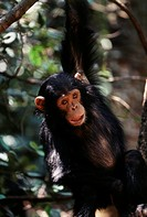 Africa, Young Chimpanzee (Pan troglodytes) hanging at forest. (Large format sizes available)