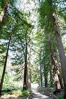 Redwood forest in the Santa Barbara Botanic Garden; Santa Barbara; Santa Barbara County; California; CA; USA.