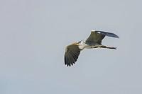 Graureiher, Ardea cinerea, european grey heron