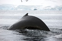 large male Humpback whale with arched back diving in Wilhelmina Bay Antarctica.