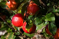 Red Apples growing on tree.