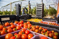 TOMATO PRODUCTION, PREMIER DEMONSTRATOR OF URBAN FARMING, AN INNOVATIVE SOLUTION FOR REHABILITATING WASTELANDS, PROJECT FOSTERED BY AN ASSOCIATION OF ...