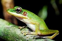 Frog (Hylarana megalonesa) in Kubah national park, Sarawak, Malaysia, Borneo.
