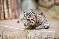 beautiful wild cat fishing in zoo