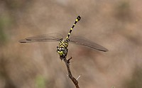 Common Tigertail (Ictinogomphus ferox) adult, resting on twig, Kruger N.P., Great Limpopo Transfrontier Park, South Africa, November