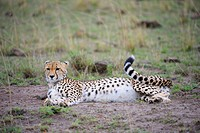 Cheetah (Acinonyx jubatus), pregnant female, lying on the ground, Maasai Mara National Reserve, Kenya