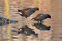 Moorhens (Gallinula chloropus) preparing to mate, Hesse, Germany