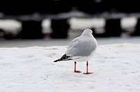 seagull at winter time
