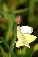 large white (Pieris brassicae), copulation, Germany