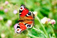 peacock butterfly with open wings