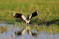 northern lapwing (Vanellus vanellus), landing with raised wings, Netherlands, Utrecht