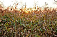Evening sun behind corn field