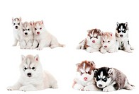 collection of little puppy of Siberian husky
