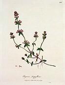 Thyme: Thymus serpyllum, published by Dr. Woodville, 1791 / © L'Acquaforte, London, UK / Bridgeman Images