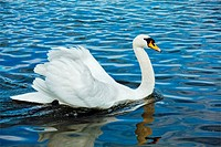 Mute Swan (Cygnus olor) in lake