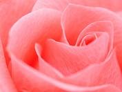 Detail of rose close