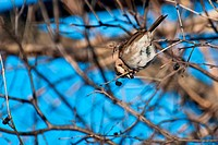 White-throated Sparrow Eating a Berry
