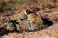 leopard in Tanzania national park