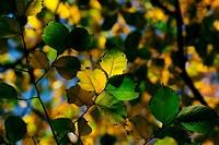 Autumn, colorful leaves
