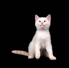Cute white cat on black background
