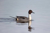 Northern pintail, Anas acuta,