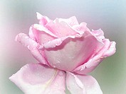 Rose with raindrops Lavender
