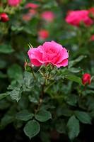 pink rose flower plant