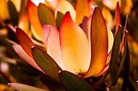 leucandendron daphnoides