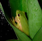 Treefrog in Plant