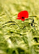 papaver, red poppy in middle of a wheat field