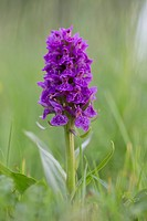 Northern Marsh Orchid Dactylorhiza purpurella Northumberland; UK