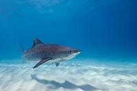 Tiger Shark, Galeocerdo cuvier, Caribbean Sea, Bahamas