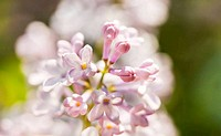 Light pink lilac branch on green leaves in spring closeup