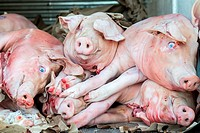 New York, USA. Stack of recently slaughtered pigs and hogs in the back of a delivery truck on 8th Avenue, Brooklyn.
