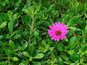 Purple daisy in lush foliage