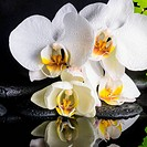 Beautiful spa setting of white orchid (phalaenopsis), green branch of fern, zen stones with drops and reflection on water