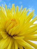 Yellow Dailia