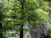 Deciduous tree growing against a rock wall in the Pyrenees, Spain.