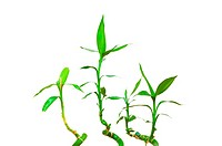 Bamboo branches isolated on the white background