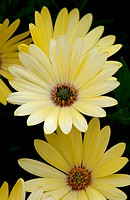 OSTEOSPERMUM 'TRADEWINDS YELLOW'