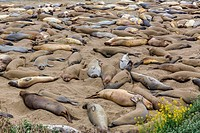 California Elephant Seals in Piedras Blancas point Big Sur