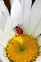 little beetle in a flower camomile