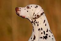 Dalmatian Portrait