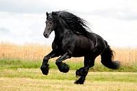 galloping Friesian horse