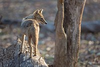 Golden jackal (Canis aureus), Pench National Park, Madhya Pradesh, India.
